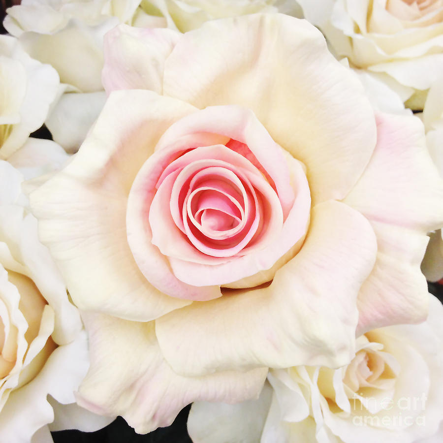 giant pink white rose july